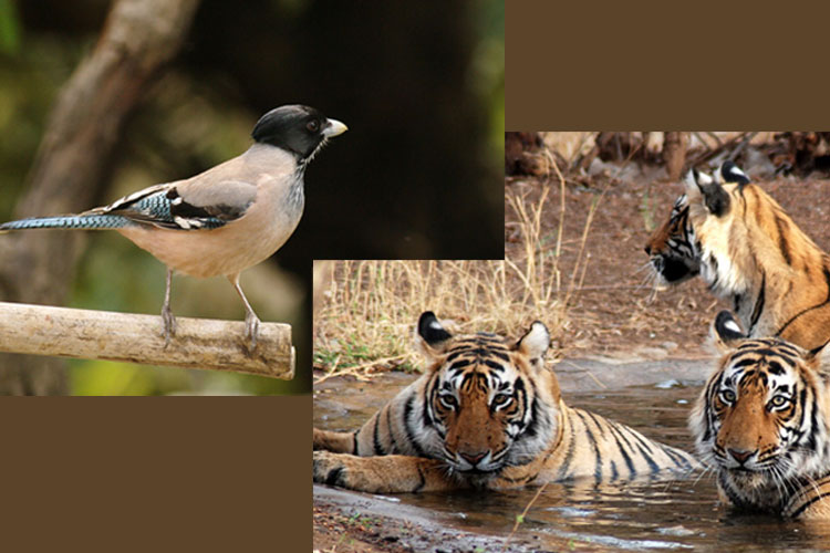 Birding and Tiger Safari to India